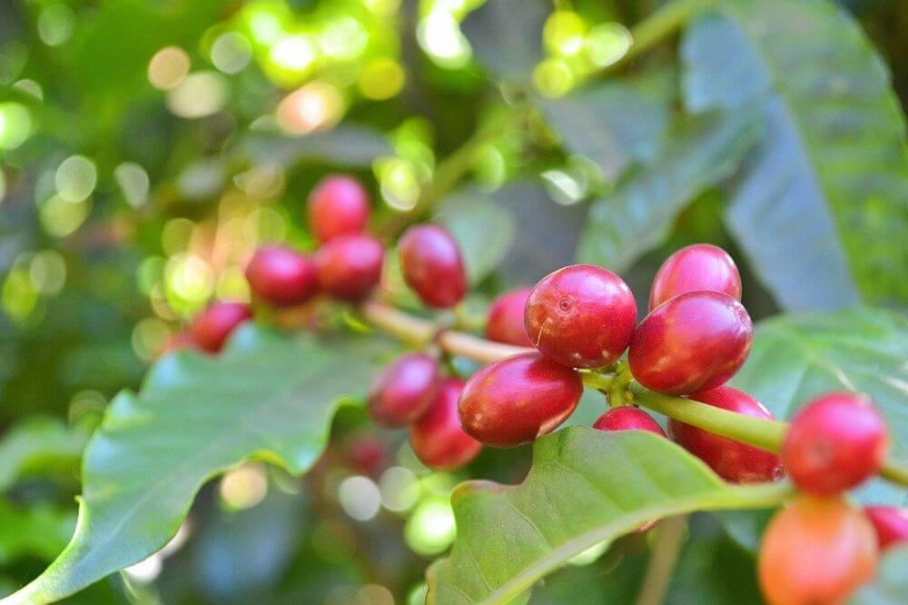 コーヒー豆のカフェイン含有量は品種により異なる