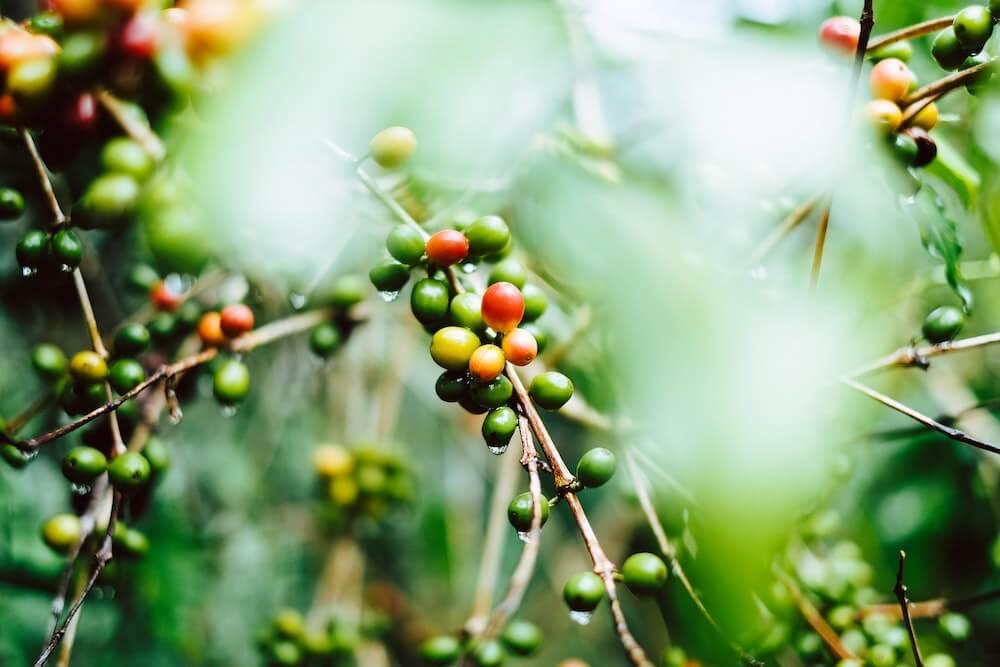 コーヒー豆の品種について