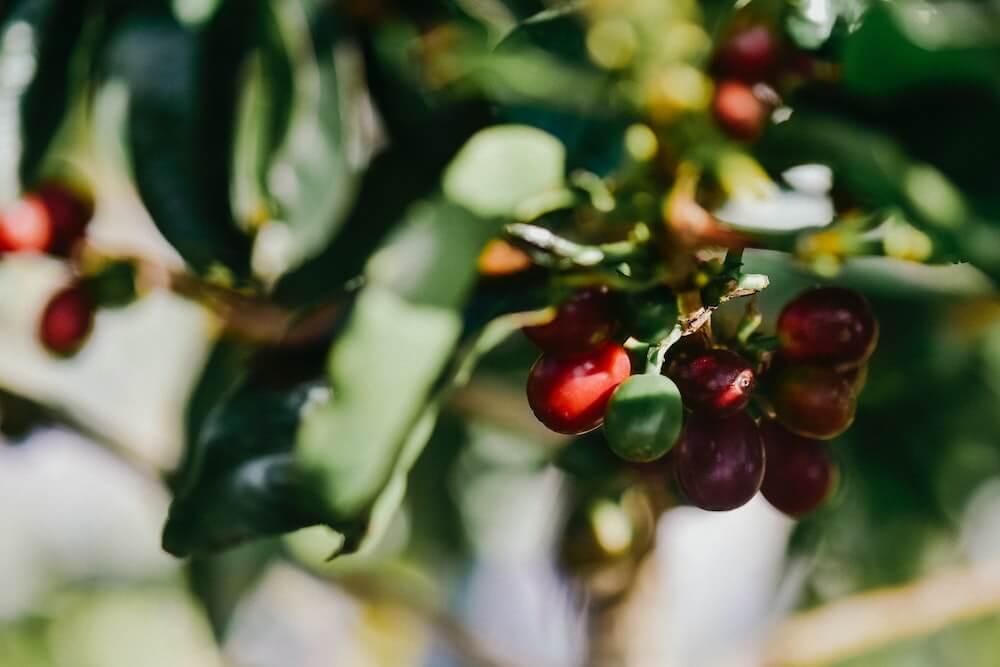 グアテマラコーヒーの特徴とは?